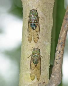 cicadidae1.JPG