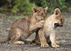 lion-cub_rctb-0324.jpg