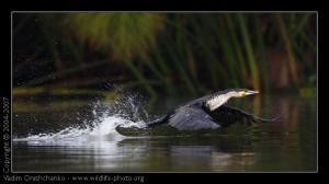 cormorant_phalacrocorax_carbo_fri1068_out_j.jpg