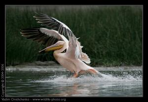 great_white_pelican_pelecanus_onocrotalus_afkj7t9255.jpg