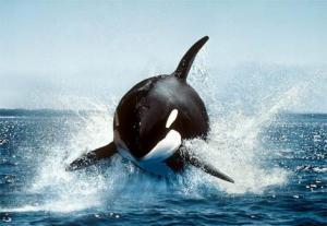 orca_killer_whale.jpg